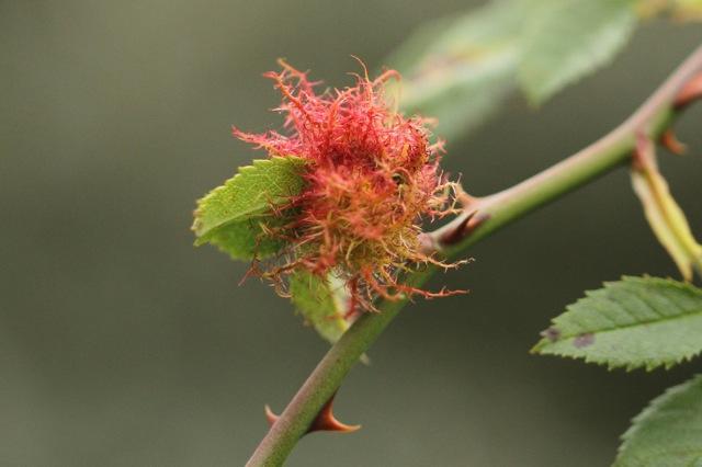 Small rose bedeguar gall, 6 September 2014