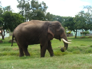 An Elephant on road to ooty