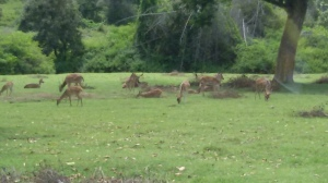 A Fleet of deers on Road to Ooty