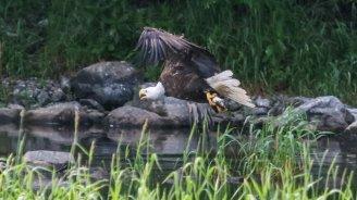 eagle-with-alewife-copy_wide-6b0c286a64e59fc4a2a227d596ebd5e49983b3dc-s1300-c85